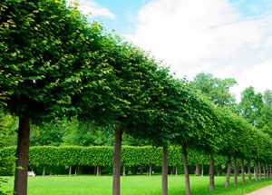 Commercial Trees