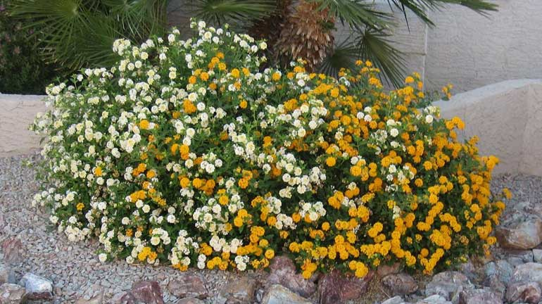 Desert Landscaping Plants 4 Beautiful And Easy To Care Plants